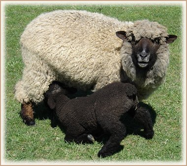 Sweet Home Spun Lambs & Sheep